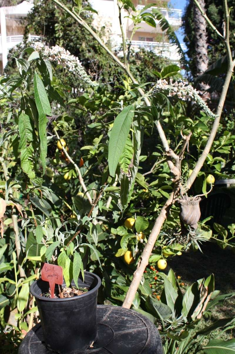 Identifie buddleia un bel arbuste au jardin forum for Cote hors gel