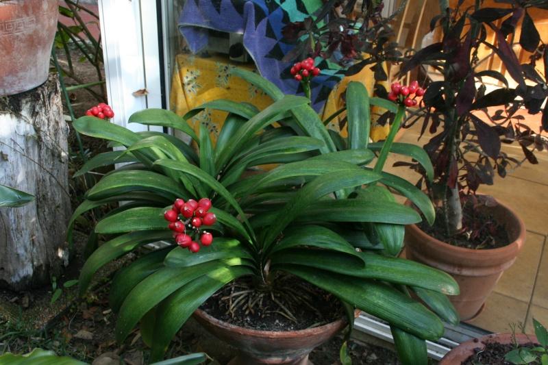 Identifiees clivia aporocactus au jardin forum de for Plante tropicale exterieur