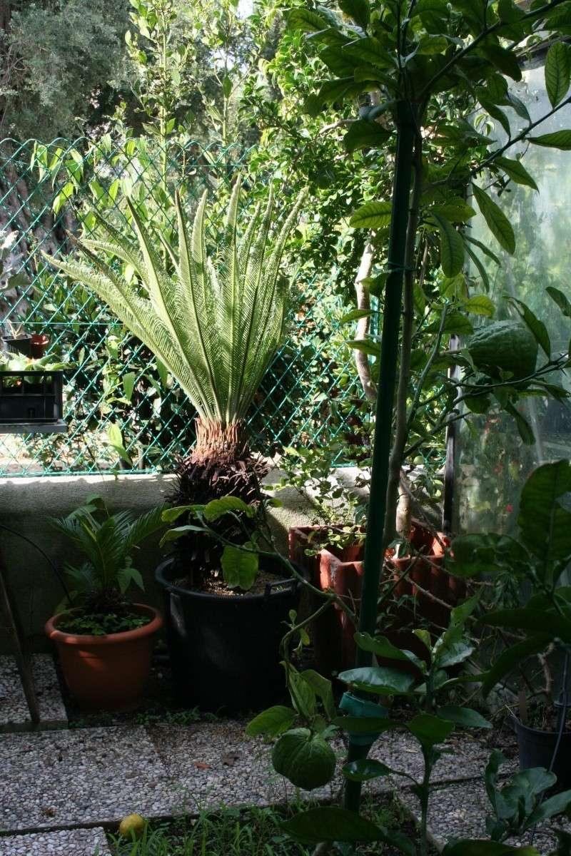 cycas revoluta au jardin forum de jardinage. Black Bedroom Furniture Sets. Home Design Ideas