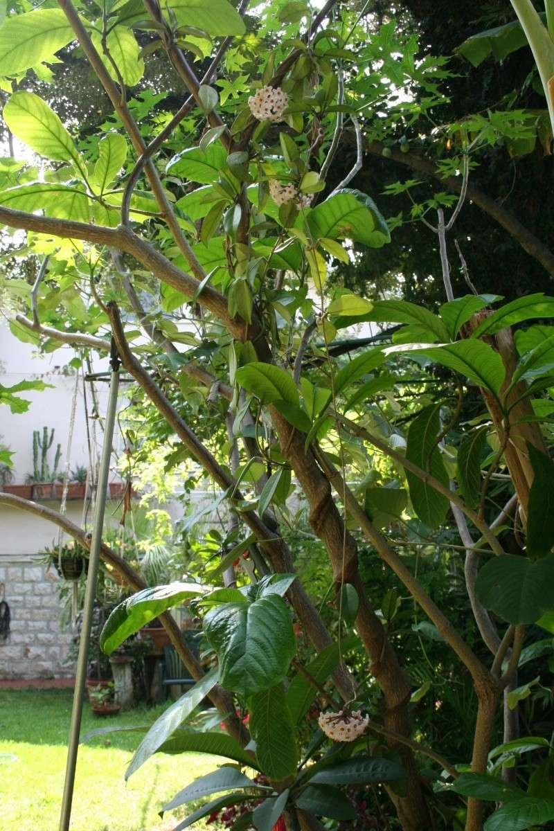 Identifiee hoya carnosa nom d 39 une plante au jardin for Cote hors gel