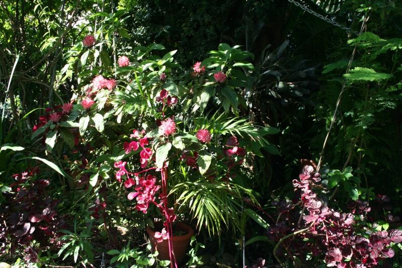 Recherche jacobinia for Recherche plante