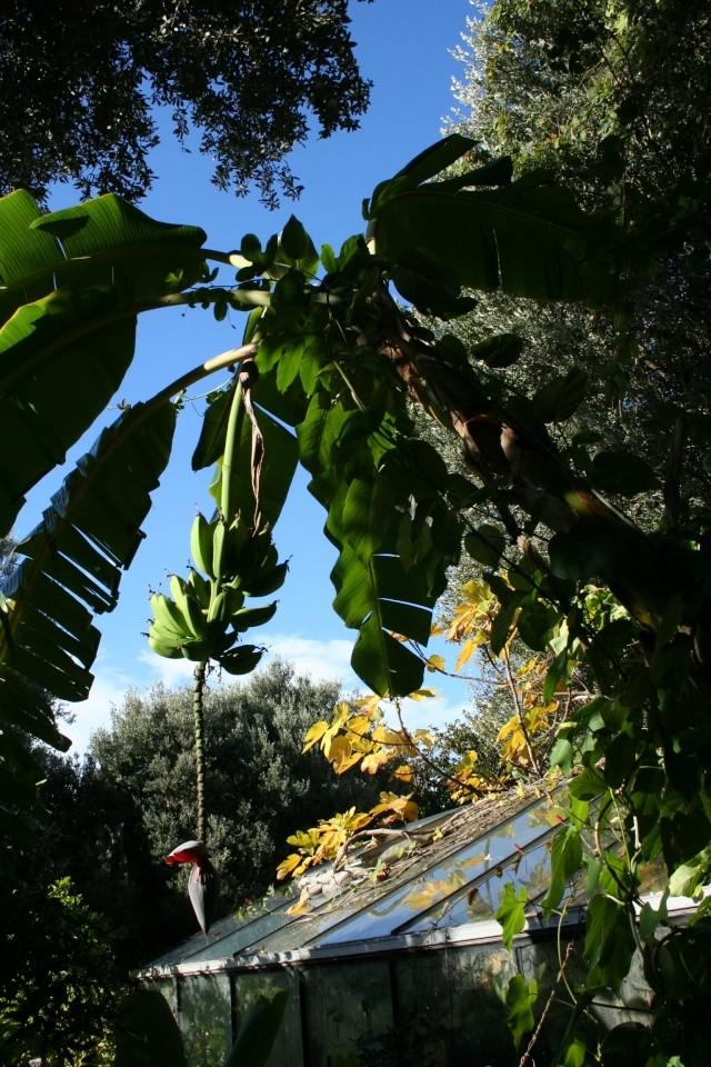 Quel bananier fruits comestibles pour mon jardin au for Cote hors gel