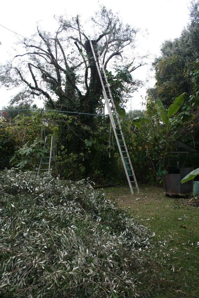 Taille D Un Olivier Comment Faire faire germer un noyau d'olive - au jardin, forum de jardinage