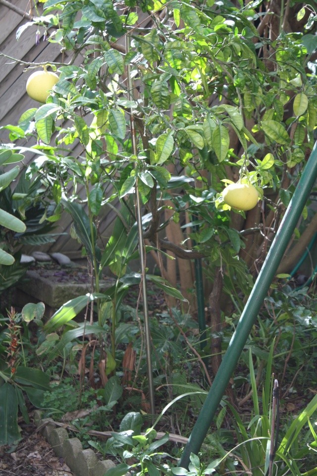 pamplemousse de tahiti en pleine terre au jardin forum de jardinage. Black Bedroom Furniture Sets. Home Design Ideas