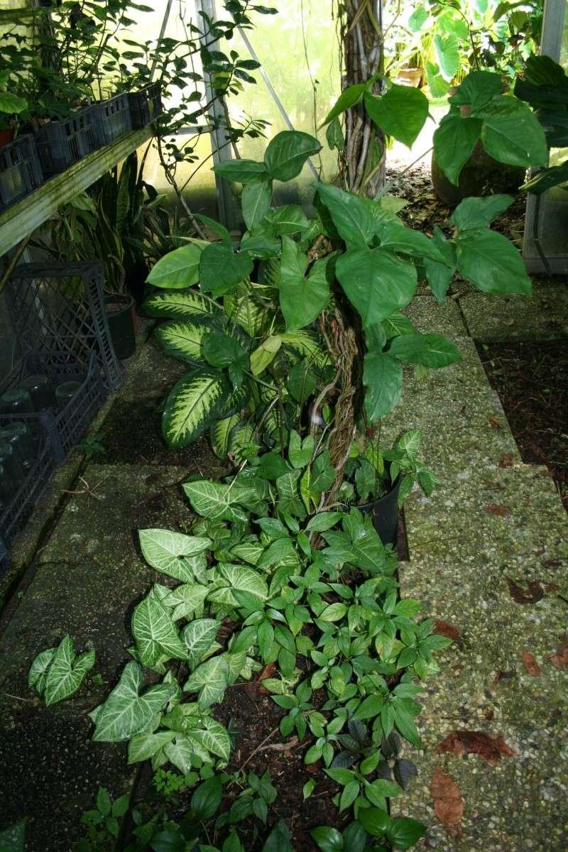 Identifiee syngonium podophyllum plante verte au for Plante verte jardin
