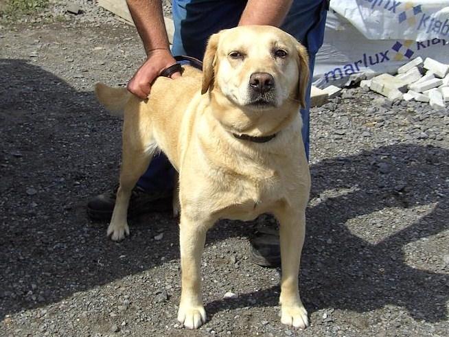 Zazi, femelle, labrador beige de 6 ans au Beaussart.
