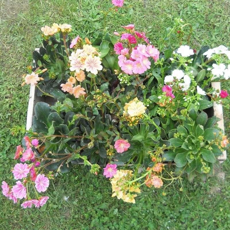 Lewisia cotyledon vivaces succulentes plantes de rocailles for Kajuard plantes