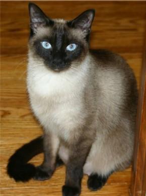 Sijamska mačka  4eafc977a3e