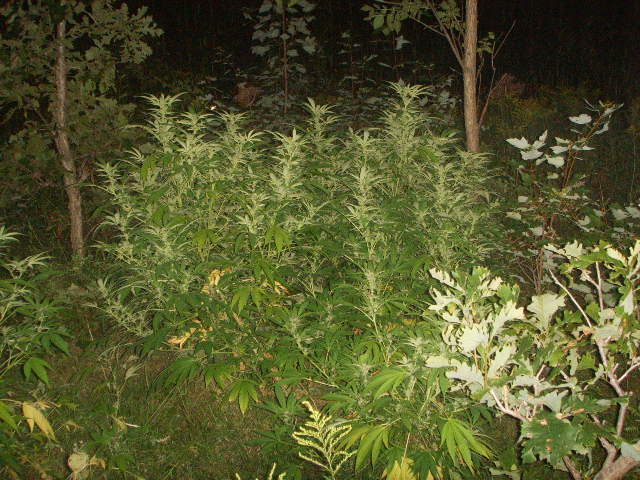 Ext rieur freezeland qu bec jdc cannaweed for Exterieur weed