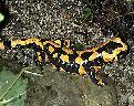 Salamandras y tritones