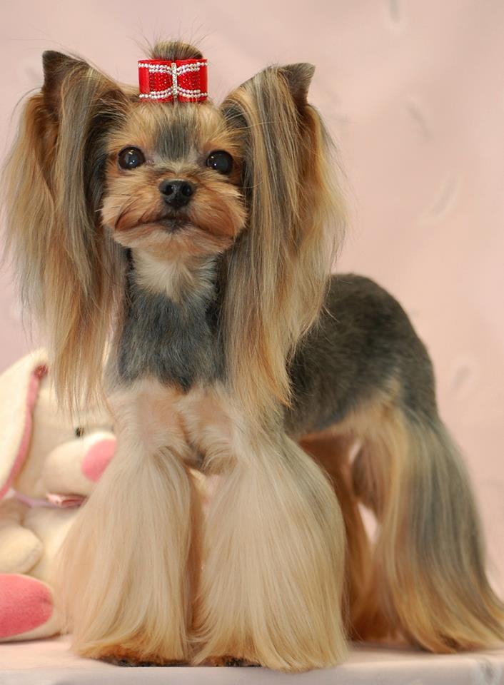 Yorkshire terrier - Modele de coupe pour yorkshire terrier ...