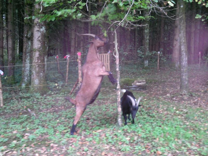 saillir une chèvre