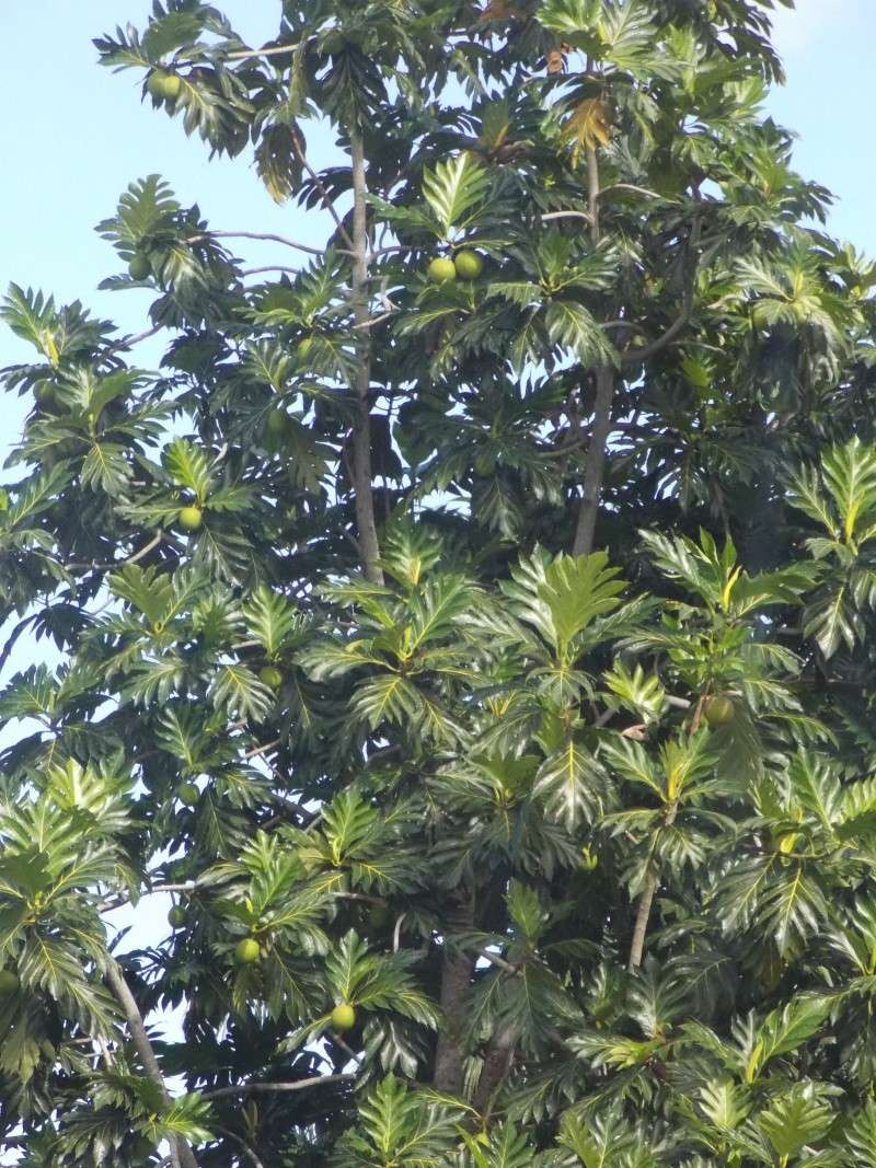 l 39 arbre pain artocarpus altilis. Black Bedroom Furniture Sets. Home Design Ideas