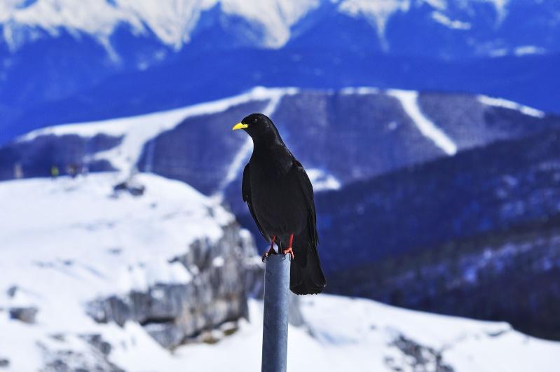 Nidiax oiseau noir a bec jaune de montagne for Oiseau noir bec jaune