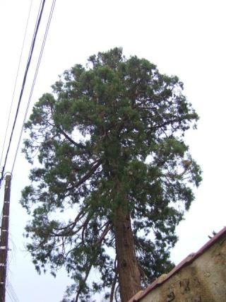 Sequoiadendron giganteum s quoia g ant for La vie claire la ciotat