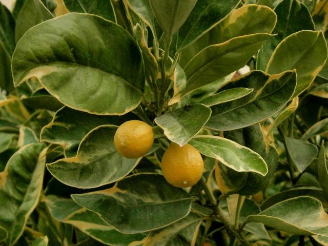 citrus20.jpg
