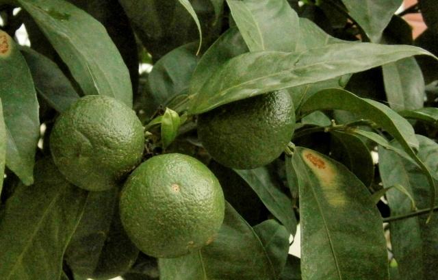 citrus21.jpg