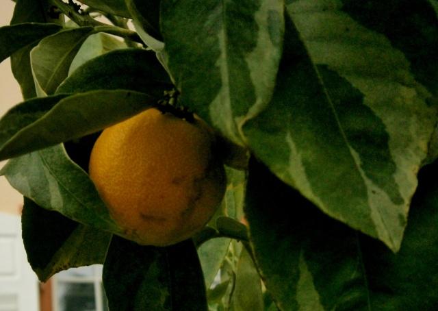 citrus24.jpg