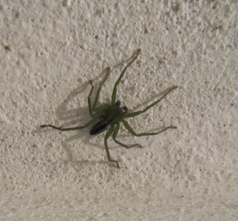 Micrommata sp araign e verte 2 le monde des insectes for Araigne sauteuse maison