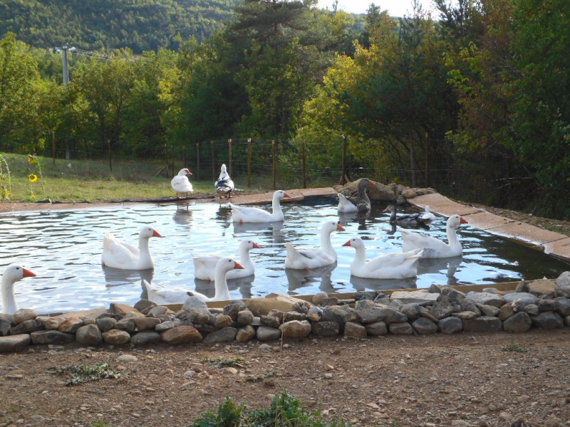 Un bassin pour les oies et les canards - Creer un bassin d ornement avignon ...
