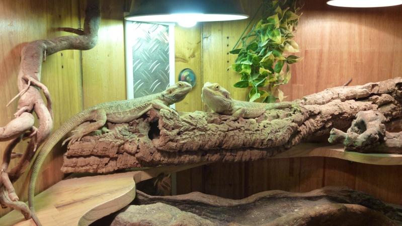 fabrication terrarium pour pogona d ja publi. Black Bedroom Furniture Sets. Home Design Ideas