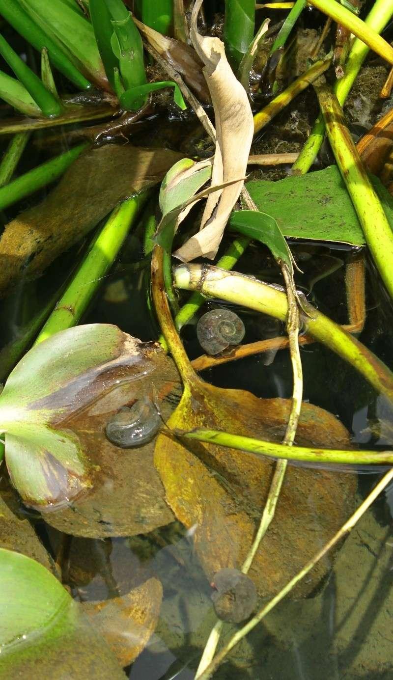 escargot aquatique dans la nature