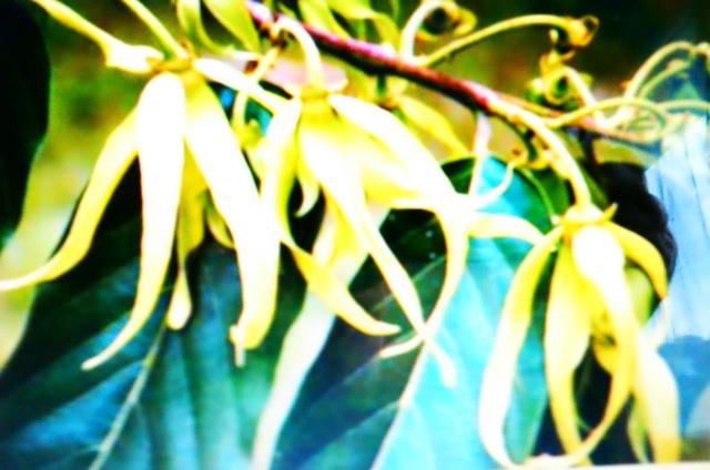Graine d ylang ylang for Plante ylang ylang