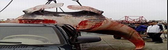 معلومات عن اكبر سمكه في العالم