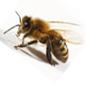 لسع النحل