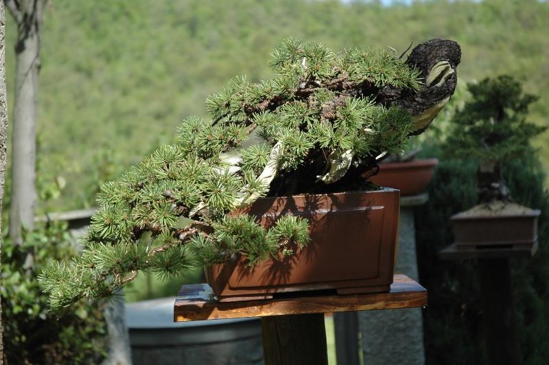Dove coltiviamo i nostri bonsai pagina 20 for Dove comprare bonsai