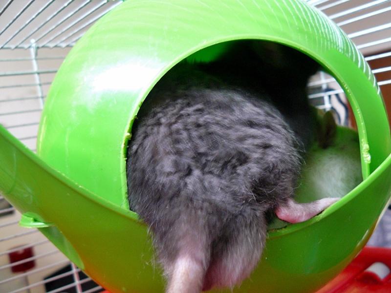 gros chate poilu exibe dans le train